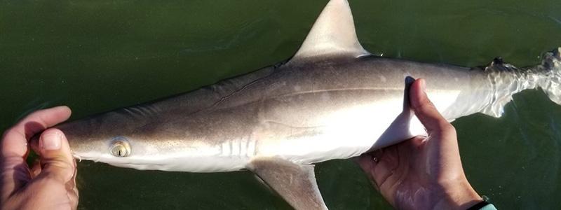 bioSlide_0007_Atlantic Sharpnose Shark (Lauren Fuller)