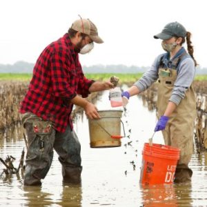 Biologist Pablo Bacon (left) and Rachel Anderson, a graduate of the UM Department of Biology, collect macroinvertebrate samples from a field in the Mississippi Delta. A new UM research project at sites such as this is exploring holding runoff water on agricultural landscapes after crops are harvested, which could reduce the pollution of downstream waterways, improve soil health and crop yields and provide crucial food and habitat for migratory birds. Photo courtesy Larry Pace